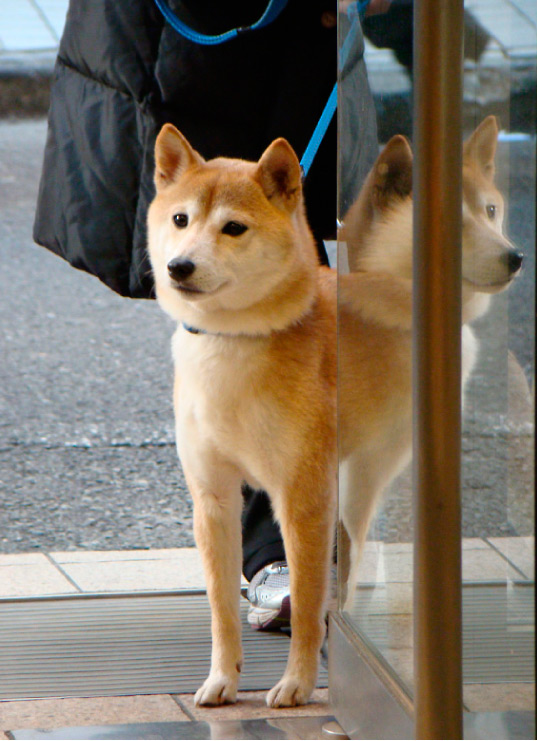 Hachi dog outside a UNIQLO store.