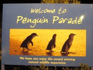 Tại Melbourne chúng tôi đã xem qua đoàn diễn hành của các chú chim cánh cụt tí hon nhất thế giới. (Jing Yuan)
