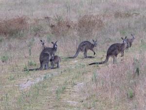 Tôi cuối cùng nhìn tận mắt được chú chuột túi thật sự của Úc. (Ying Xin Yu)