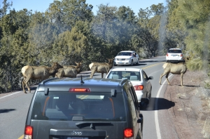 We're still debating what those jaywalkers are. My vote goes for elk. (Annie Li)