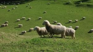 她的宝贝羊儿们。