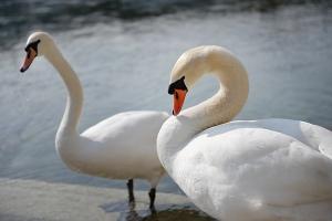 Y en los Alpes, donde (por todos lados) hay lagos de agua clara, hay cisnes. (Annie Li)
