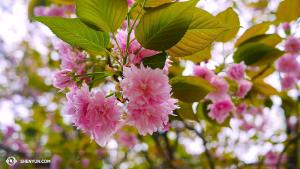 日本之春,櫻花正美。(攝影:陳陽暮月)