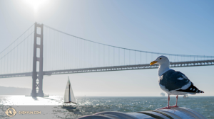 Seagull perched on San Francisco bay. (Photo by dancer Kenji Kobayashi)