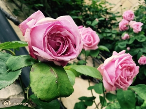 …whereas it was roses galore in England, visited by another group of dancers. If you've seen traditional Chinese art, you'll know they have a fascination with images of critters on flowers and vegetables.  (Photo by dancer Diana Teng)