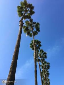 Перед отъездом в следующий город они также полюбовались огромными пальмами у отеля. Смотрите наши следующие альбомы, чтобы узнать, куда они поехали дальше... (Автор фото – Реджина Дун)