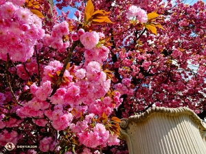 Flowers are blooming everywhere. We spot these bright pink ones while exploring Salzburg. (Photo by Tony Zhao)