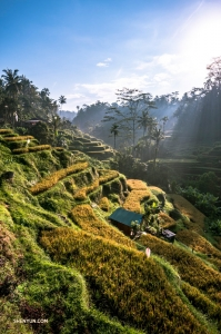 Bassist TK Kuo travels to Bali, Indonesia. Sweeping views of the sun-drenched rice terraces of Tegalalang are sure worth the journey!