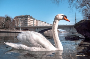 A friendly Swiss swan approaches. (Photo by Monty Mou)