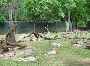 Dozens of tired kangaroos taking a break from hopping.