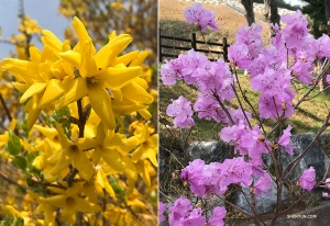 Bright yellow forsythias and pretty pink azaleas are also in full bloom! (Photos by Vina Lee)