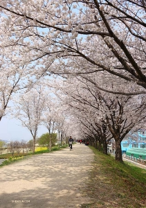 A grove of cherry and almond trees along a river in Daegu, South Korea. (Photo by dancer Jeff Chuang)