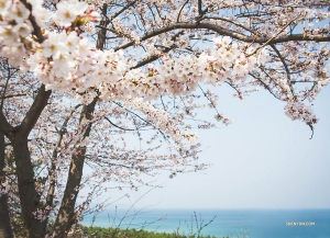 Shen Yun World Company spots cherry blossoms while driving from Gangneum to Daegu, South Korea. (Photo by dancer Michelle Wu)