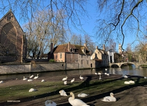Wijngaardplein, a small park home to a bevy of swans.