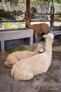 Real-life Alpacas. All alpacas are domesticated (there are no wild ones) and bred for their wool. In addition to the wool being extremely soft, it's also hypoallergenic, water repellent, and flame resistant.