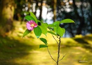 Det mesta av trädgården kan bara ses från verandan utanför templets stora sal, men dansaren Felix Sun lyckas få en närbild av denna fina blomning.