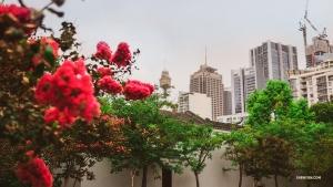 わずかの時間に雨のシドニーを散策。(撮影:モンティ・ムー)